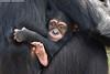 Chimpanzee - Zoom Gelsenkirchen (Mandenno photography) Tags: animal animals dierenpark dierentuin dieren duitsland zoomgelsenkirchen zoo zoom chimp chimpansee chimpanzee ngc