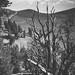 B&W Ancient Bristlecone Pine Forest
