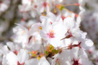 桜_9/ Sakura (Cherry blossoms)