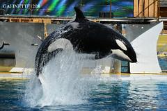 Wikie in the light ♥ (GALINETTE1208) Tags: killer whales orque orca wikie inouk keijo moana france marineland antibes mld light black white cetacean cetace bow impressive 2018 nikon d5200