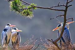 邻居-交流 - by vcg-jinlongji (KevinBJensen) Tags: 鸟 大自然 野生动物 树 石家庄 平山 苍鹭 求偶 凝视
