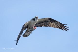 Osprey with lunch 500_5649.jpg