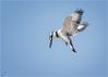 Graufischer (Pied kingfisher) (tzim76) Tags: graufischer hunting ceryle rudis eisvogel rütteln jagd wildlife nature outdoor birding eilat israel north beach pied kingfisher