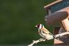 Chardonneret Elégant (pbourgois) Tags: chardonneret oiseaux