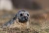 Heads Up! (DanRansley) Tags: britain danransleyphotography danransleynet donnanook england halichoerusgrypus lincolnshire uk animal beach coast greyseal mammal nature pinniped seal wildlife