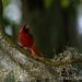 Mister Redbird