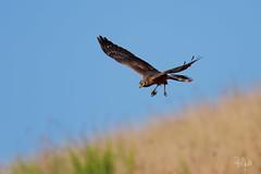 Albanella minore giovane (Polpi68) Tags: bird birds birdwatching albanella falcon falco nature
