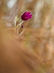 Pulsatilla (Wolfgang Hackl) Tags: spring macro nature flower fragility beautyofnature outdoor pulsatilla nopeople