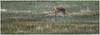 Chinese Water Deer. (vegetus aer) Tags: woodwaltonfen greatfen greatfenproject wildlifetrust bcnwildlifetrust nnr cambridgeshire chinese water deer chinesewaterdeer