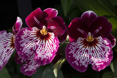 Exotic dancers (Irina1010) Tags: orchids flowers tropicals colorful light macro cyclamen beautiful nature glasshouse canon ngc coth5 npc