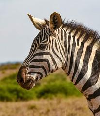 Meet the Zebra (Rod Waddington) Tags: africa african afrique afrika kenya zebra wild animal wildlife nature national park nairobi outdoor