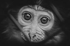 Monkey (♥siebe ©) Tags: 2018 blijdorp diergaardeblijdorp holland nederland netherlands rotterdam siebebaardafotografie thenetherlands animal dier dierentuin dutch fotografie zoo