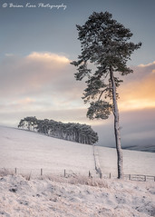 The Scots Pine (.Brian Kerr Photography.) Tags: scotland scottishlandscapes scottish southlanarkshire scotspirit scotspine trees snow winter sunrise coldmorning scotspines scottishlandscape photography landscape formatthitech visitscotland vanguarduk sonyuk firecrest clouds sky scenic visitbritain briankerrphotography briankerrphoto nature naturallandscape natural outdoor opoty outdoorphotography