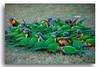 Rainbow Lorikeets (Bear Dale) Tags: rainbow lorikeets south coast new wales australia canon 5d mkii