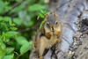 Squirrel in the Forest (Vegan Butterfly) Tags: outside outdoor whitemud ravine nature reserve edmonton alberta animal squirrel rodent cute adorable fur furry log forest wildlife