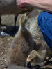 Mother Goose Allowed This (Scott 97006) Tags: feed goose chicks feeding animal wild