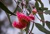 копия-00043 (bagira2018) Tags: eucalyptus flowers цветыэвкалипта австралия plants australia