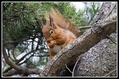 IMG_0041 Red Squirrel (Scotchjohnnie) Tags: redsquirrel sciurusvulgaris squirrel squirrelphotography rodent mammal wildanimal nature naturephotography wildlife wildlifephotography wildandfree canon canoneos canon7dmkii canonef100400f4556lisiiusm scotchjohnnie