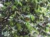 Diospyros malabarica_Jijamata Udyan1 (Alka Khare) Tags: diospyros ebenaceae