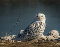 """Dr. Livingstone, I presume . . . "" (Dr. Farnsworth) Tags: bird owl snowyowl female stare eyes yellow muskegon mi michigan winter march2018 screamofthephotographer nationalgeographic worldwide"