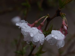 In a freezing rain (nofrills) Tags: weather rain water raindrops raindrop flora floral flower blossom blossoms cherry cherryblossom cherryblossoms 桜 桜色