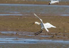 DSC_3481 (Adrian Royle) Tags: lincolnshire framptonmarsh rspb nature wildlife bird heron spoonbill nikon