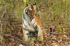 The queen awakens from her slumber (Shayon Ghosh) Tags: canon canon7dmarkii animal pantheratigristigris bengaltiger indiantiger indianwildlife tigeress wildlife bigcats jungle tigerreserve bijrani jimcorbettnationalpark uttarakhand india nature