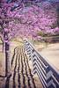 Springy (LanaScape Photos) Tags: texas lavender flowers twist60 lensbaby