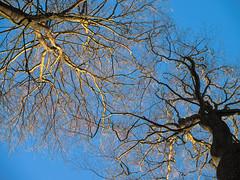 Chartersfield Wood (Bruce Clarke) Tags: wood olympus oxfordshire winter woods lumix vario forestrycommission outdoor bluesky trees copse m43 chilterns beech barebranches woodland chartersfieldwood beeches landscape omdem1 lookingup treesinbud wyfoldcourt panasonic35100mmf28
