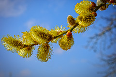 Does this look like Spring? (enneafive) Tags: willow catkins sun yellow blue flower fujifilm xt2 colour contrast countryside tree