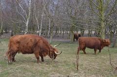 Schotse Hooglander(s), Broekpolder Vlaardingen (Hugo Sluimer) Tags: broekpolder vlaardingen zuidholland holland nederland natuur nature natuurfotografie natuurfotograaf naturephotography schotsehooglander oerkoe koe