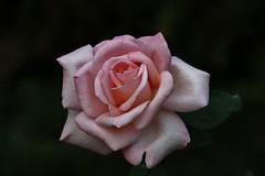 Rose (Hugo von Schreck) Tags: hugovonschreck yourbestoftoday rose flower blume blüte macro makro tamron28300mmf3563divcpzda010 canoneos5dsr