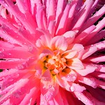Pink Dahlia in Rain thumbnail
