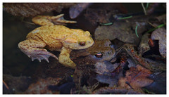 European toad  (Erdkröte) #1 - Mutant Love (Max Angelsburger) Tags: kirnbachtal kirnbach erdkröte europeantoad commontoad mutant yellow gelb gelbes männchen wurmberg neubärental
