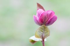 Lenten Rose (norasphotos4u) Tags: lensbaby ©noraleonard pink flowersplants canon5dmkiv flowers fbfotografia social flickr velvet85