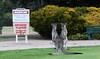 Kangaroos, Benalla Golf Course (PhotosbyDi) Tags: kangaroos animals australiannativeanimals australia native benallagolfclub golfcourse panasoniclumix panasonicfz300 fz300 lumixfz300 benalla northeasternvictoria