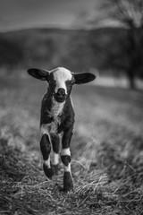 Salt and Pepper (*altglas*) Tags: sheep lamb schaf lamm bw monochrome summiluxr 1450 leitz leica 50mm