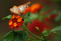 White peacock (rvtn) Tags: anartiajatrophae whitepeacock butterfly butterflies flowers orange lantana insects insect