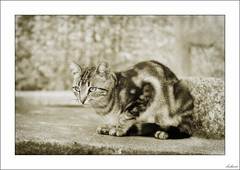 Proyecto de lince... (V- strom) Tags: felino gato cat mirada looking catlike lock texturas textures portugal monocromo monochrome nikon nikond700 nikon70300 vstrom viaje travel recuerdo memory luz light animal mascota pet