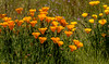 California Poppy (Stephen R. D. Thompson) Tags: wilsonparkandwildlifereserve california locations wildflowers plants californiapoppy stcphotography stephen r d thompson nature 2018 usa lincoln stephenrdthompson