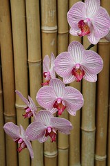 Frilly ladies (Karen Pincott) Tags: orchids newzealand flowers flowersplants orchid nature explored bamboo flower