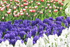 Tulip Fever (Shantanu_NL) Tags: tulip daffodil orchid colors garden keukonhof holland netherlands bloom blooming blossoms nature sunny spring nikon travel traveller blogger awesome fabulous delight fisheye photography