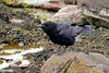 Raven, Great Cumbrae (Eddie the Eagle-eye) Tags: birds wildlife crows corvid clyde cumbrae coast islands sea beach