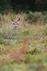 cerf-0046 (philph0t0) Tags: cervus elaphus cerf élaphe red deer rut brame animal mammifére mamal forêt arbre mammifère biche