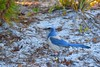 The veteran (davidreyes1) Tags: birdsofflorida birds threatenedspecies floridascrubjay florida scrubjay