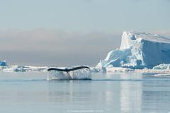 Humpback splash (A. Gosewehr) Tags: antarktis antarctica iceberg humpbackwale buckelwal antarcticocean brownbluff antarcticsound