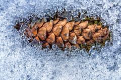 Winter emerging pinecone (Havoc315) Tags: sony 90mm f28 a7riii pine cone fe mt kisco winter macro ice leonard park snow leonardpark mtkisco sony90mmf28 sony90mmmacro sonya7riii sonyfe90mm pinecone