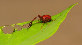 Dining Leaf-rolling or Giraffe Weevil (Paracycnotrachelus or Cycnotrachelus sp., Attelabidae), male