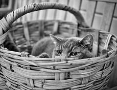 Los ojos del gato (TPStearns) Tags: monochrome blackandwhite bw cat blackwhitepassionaward