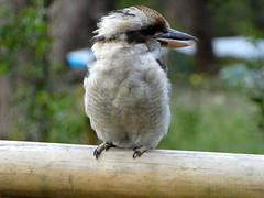 Laughing Kookaburra (Diepflingerbahn) Tags: kookaburra dacelonovaeguineae panasoniclumixdmctz80 rubiconvalley victoria kendallscampingground